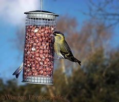 Siskin male on nuts