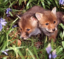 Fox cubs among bluebells
