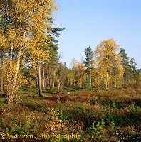 Lemmenjoki autumnal birches