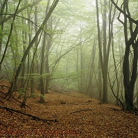 Beech woodland with mist