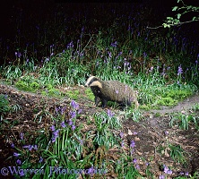 Badger amongst bluebells
