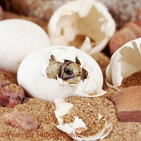 Baby tortoise hatching out of an egg