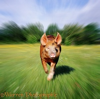 Tamworth pig running