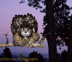 Eagle Owl aggressive