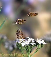 Hoverflies hovering