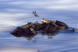 Mud Skippers & dragonfly