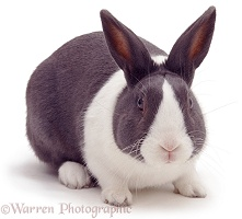 Blue Dutch male rabbit