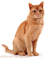 Red Burmese male cat