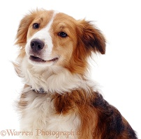 Portrait of Border Collie dog