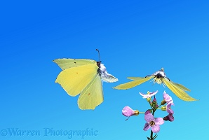 Brimstone Butterflies taking off