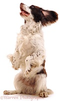 English Springer Spaniel begging