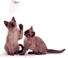 Brown Tonkinese kittens
