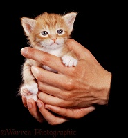 Ginger kitten in hands