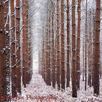 Pine woods with snow