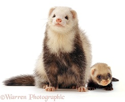 Ferret mother and baby