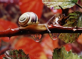 Banded snail and raindrops