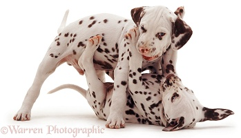 Dalmatian pups mouth wrestling