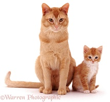 Ginger father cat and kitten