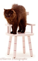 Chocolate cat on pink chair