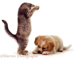 Kitten and puppy playing
