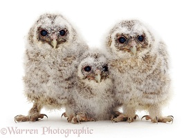Trio of baby Tawny Owls