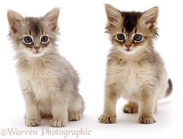 Pair of Somali kittens