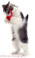 Kitten standing with toy