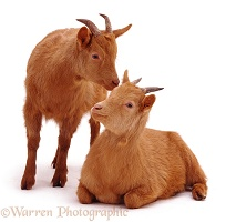 Two ginger goats