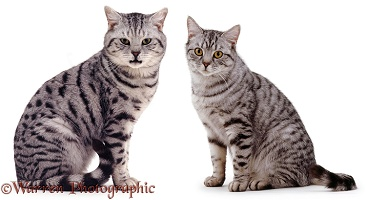 Male and female silver tabby cats