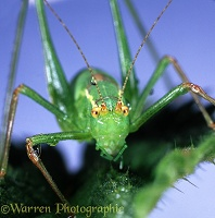 Speckled bush cricket portrait