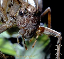 Dark bush cricket portrait