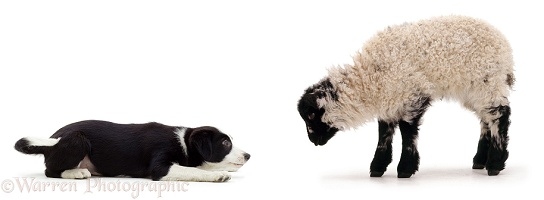 Border Collie pup herding a lamb