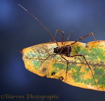 Tropical harvestman