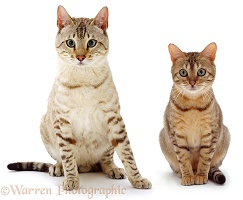 Male and female Bengal cats