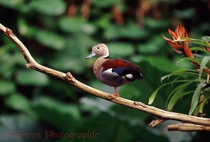 Rainforest duck