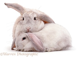 Rabbit mother and youngster