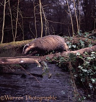 Badger on log bridge at dawn