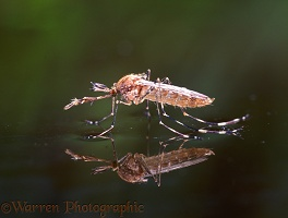 Mosquito male on water
