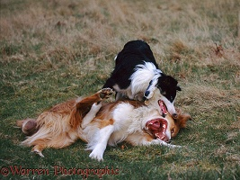 Border Collies play fighting