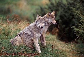 Grey Wolves sitting