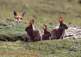 Young rabbits being watched by a fox