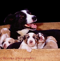 Border Collie with puppies in a whelping box