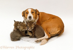 Border Collie with fostered fox cubs