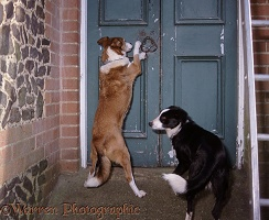 Border Collie trying to open a door