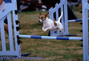 Dog agility Jack Russell Terrier