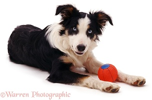 Playful Border Collie