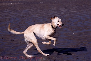 Saluki Lurcher running