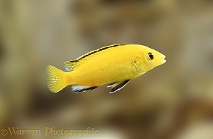East African Lake Cichlid fish