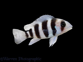 Deep-water Cichlid