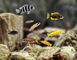 East African Lake Cichlids